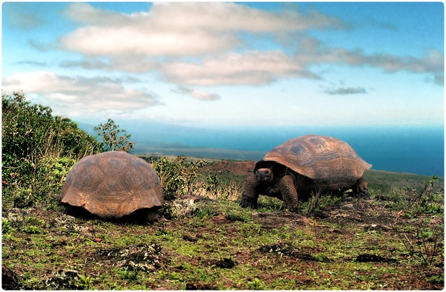 Alcedo Galapagos Tortoise   Galapagos Islands