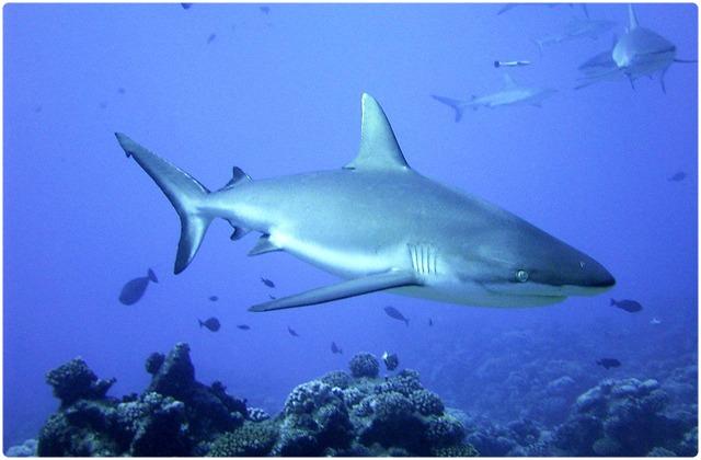 Black tipped shark | Galapagos Islands
