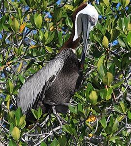 Brown pelicanKeine