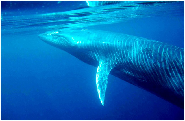 Bryde´s whale | Galapagos Islands