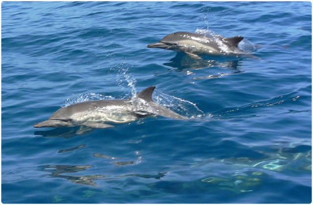 Common dolphin | Galapagos Islands