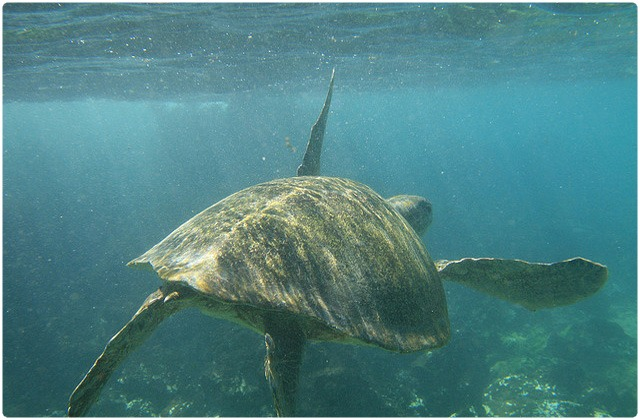 East Pacific Green Turtle   Galapagos Islands