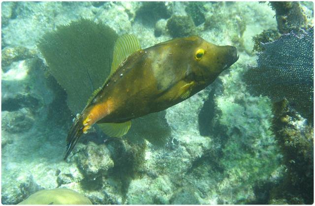Filefish | Galapagos Islands