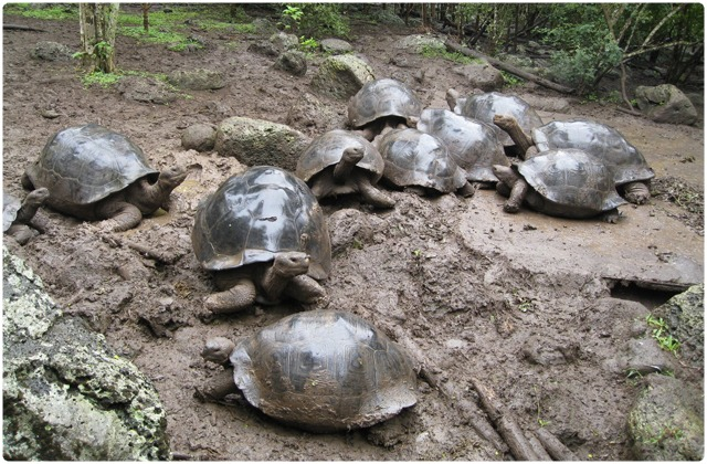 Floreana Galapagos Tortoise   Galapagos Islands