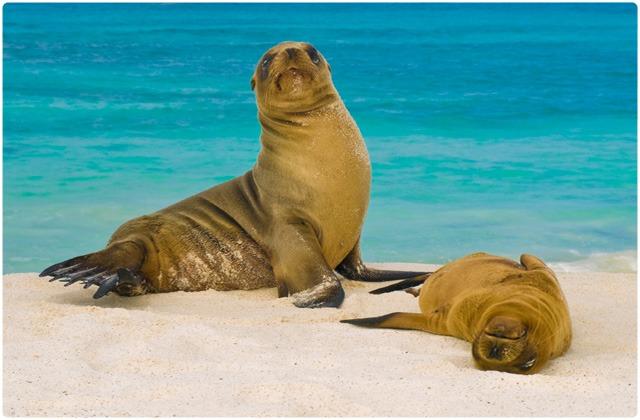 Fur seal | Galapagos Islands