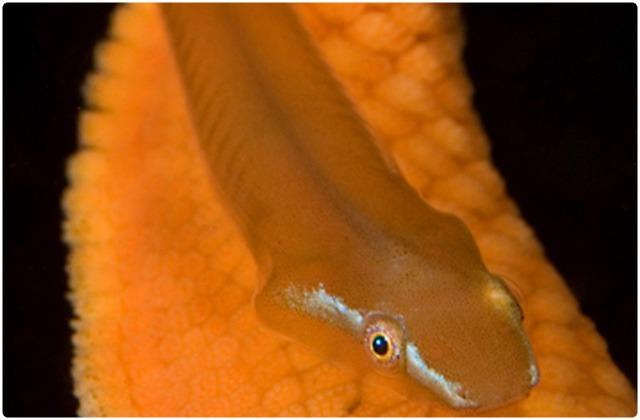 Galapagos clingfish | Galapagos Islands