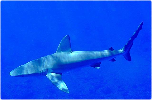 Galapagos sharks | Galapagos Islands