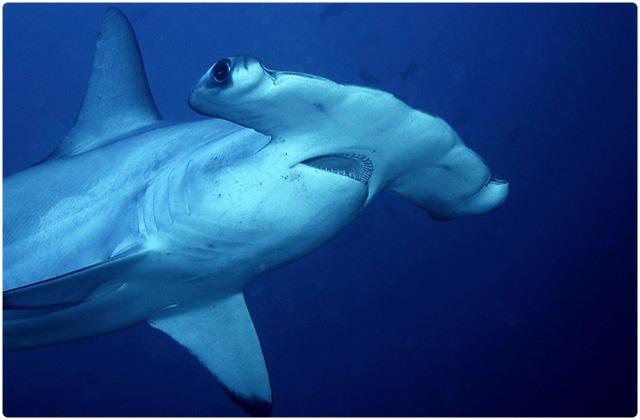 Hammerhead sharks | Galapagos Islands