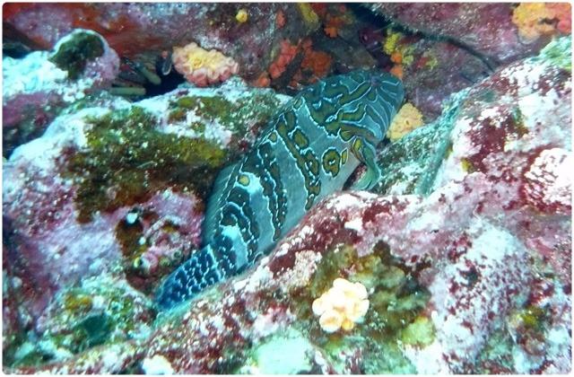 Hieroglyphic hawkfish | Galapagos Islands