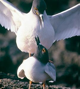 Lava gulls | Galapagos Islands
