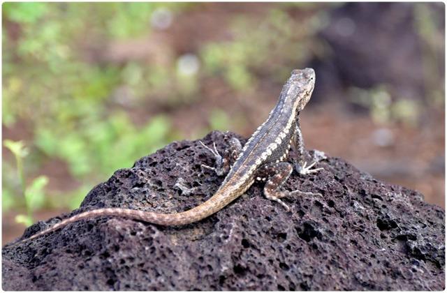 Lava Lizard bivittatus   Galapagos Islands