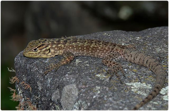 Lava lizard duncanensis   Galapagos Islands