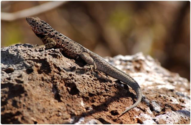Lava lizard pacificus   Galapagos Islands