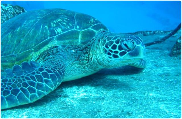 Leatherback turtle   Galapagos Islands