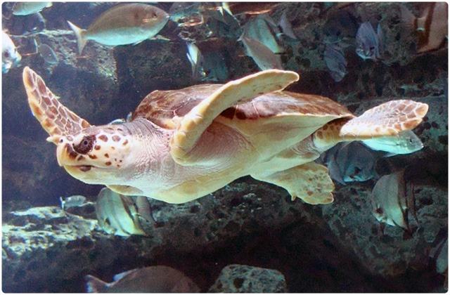 Loggerhead Sea Turtle   Galapagos Islands