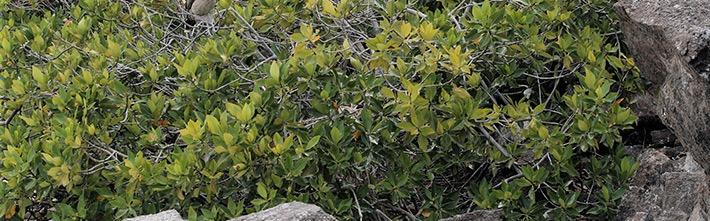 Schwarze Mangrove