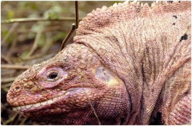 Pink land iguana   Galapagos Islands