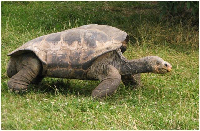 Pinzon Galapagos Tortoise   Galapagos Islands