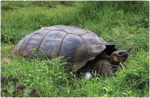 San Cristóbal Tortoise   Galapagos Islands