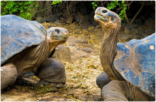 Santa Cruz Galapagos Tortoise   Galapagos Islands