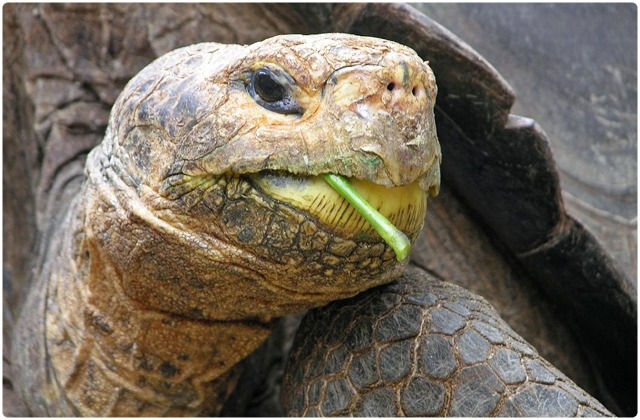 Santa Fe Galapagos Tortoise   Galapagos Islands