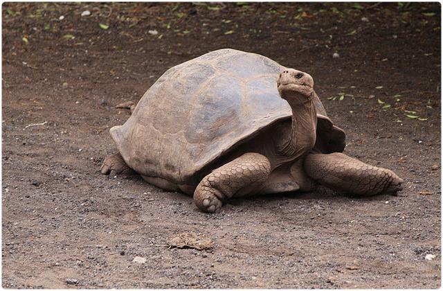 Santiago Galapagos Tortoise   Galapagos Islands