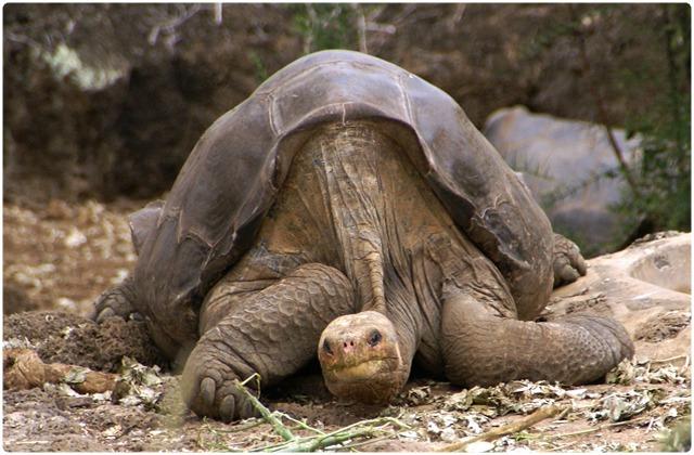 Sierra Negra Tortoise   Galapagos Islands