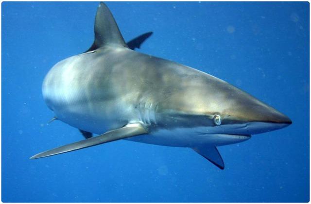Silky sharks (C.-falciformis) | Galapagos Islands