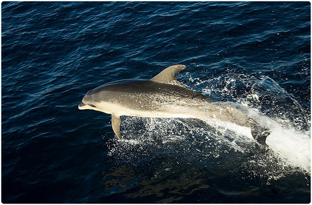 Spinner dolphin | Galapagos Islands