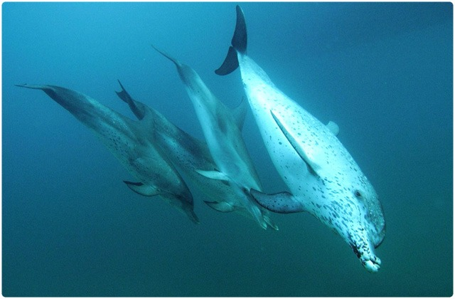 Spotted dolphin | Galapagos Islands