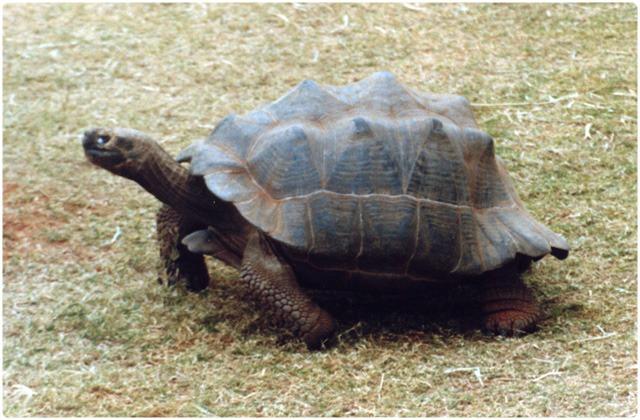 Volcan Darwin Tortoise   Galapagos Islands