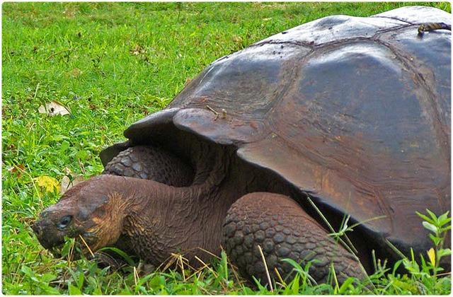 Volcan Wolf Tortoise    Galapagos Islands
