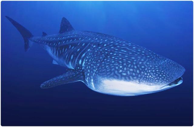 Whale shark | Galapagos Islands