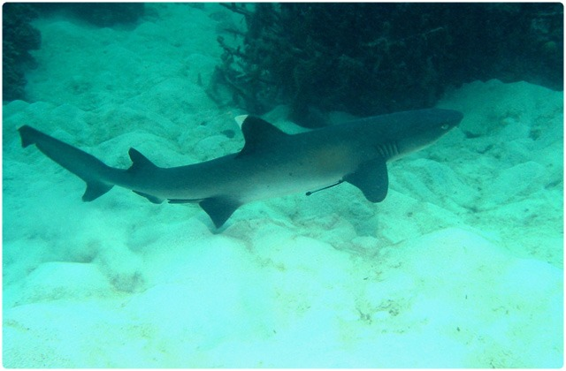 White tipped reef shark | Galapagos Islands
