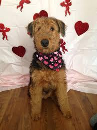 Airedale Valentine