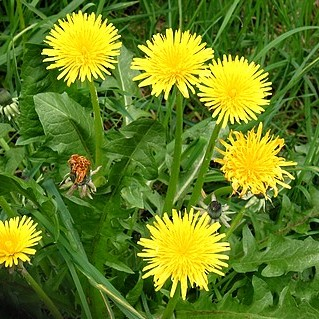 112-Dandelion-Leaves.jpeg