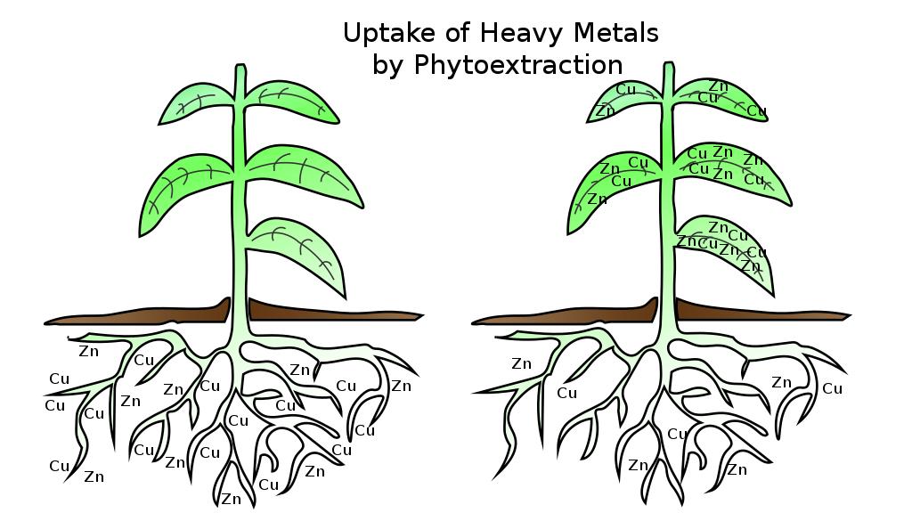 phytoextraction