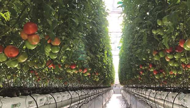 Hydroponic cultivation records high yield