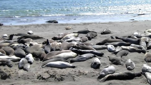 elephant seal rookery in piedras blancas