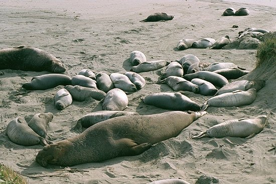 a group of elephant seals at piedras blancas elephant seal rookery