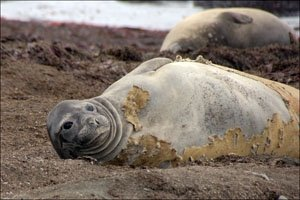elephant seals molting at piedras blancas