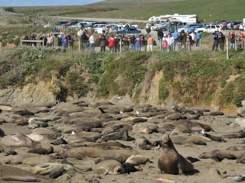 elephant seals in piedras blancas