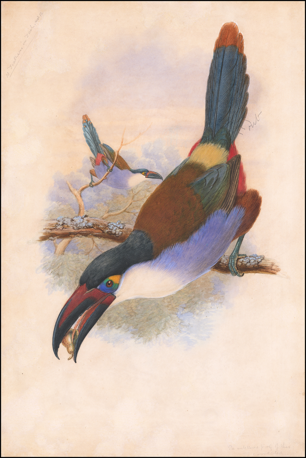 Black-Billed Mountain Toucan (Andigena nigrirostris) By William Matthew Hart / John Gould