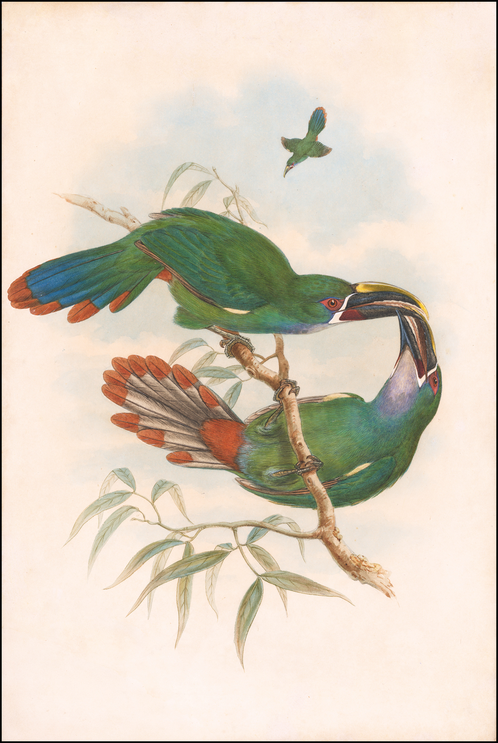 Northern Andean or Grey-throated Toucanet (Aulacorhynchus albivitta or griseigularis) By William Matthew Hart / John Gould