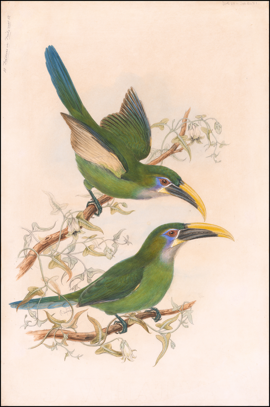Yellow-billed toucanets (Aulacorhynchus sulcatus calorhynchus) By William Matthew Hart / John Gould