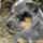Australian cattle dog 0532