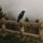 Crow on a fence
