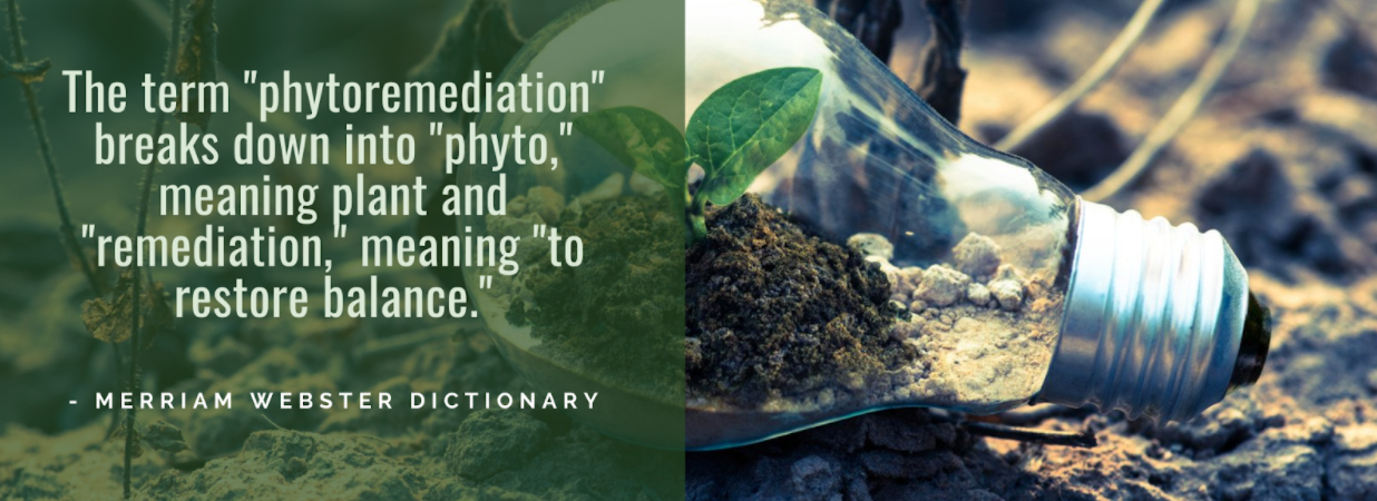 "Lightbulb with seedling inside with quote overlay ""The term ""phytoremediation"" breaks down into ""phyto"" meaning plant and ""remediation"" meaning to restore balance"" (Merriam Webster Dictionary)"