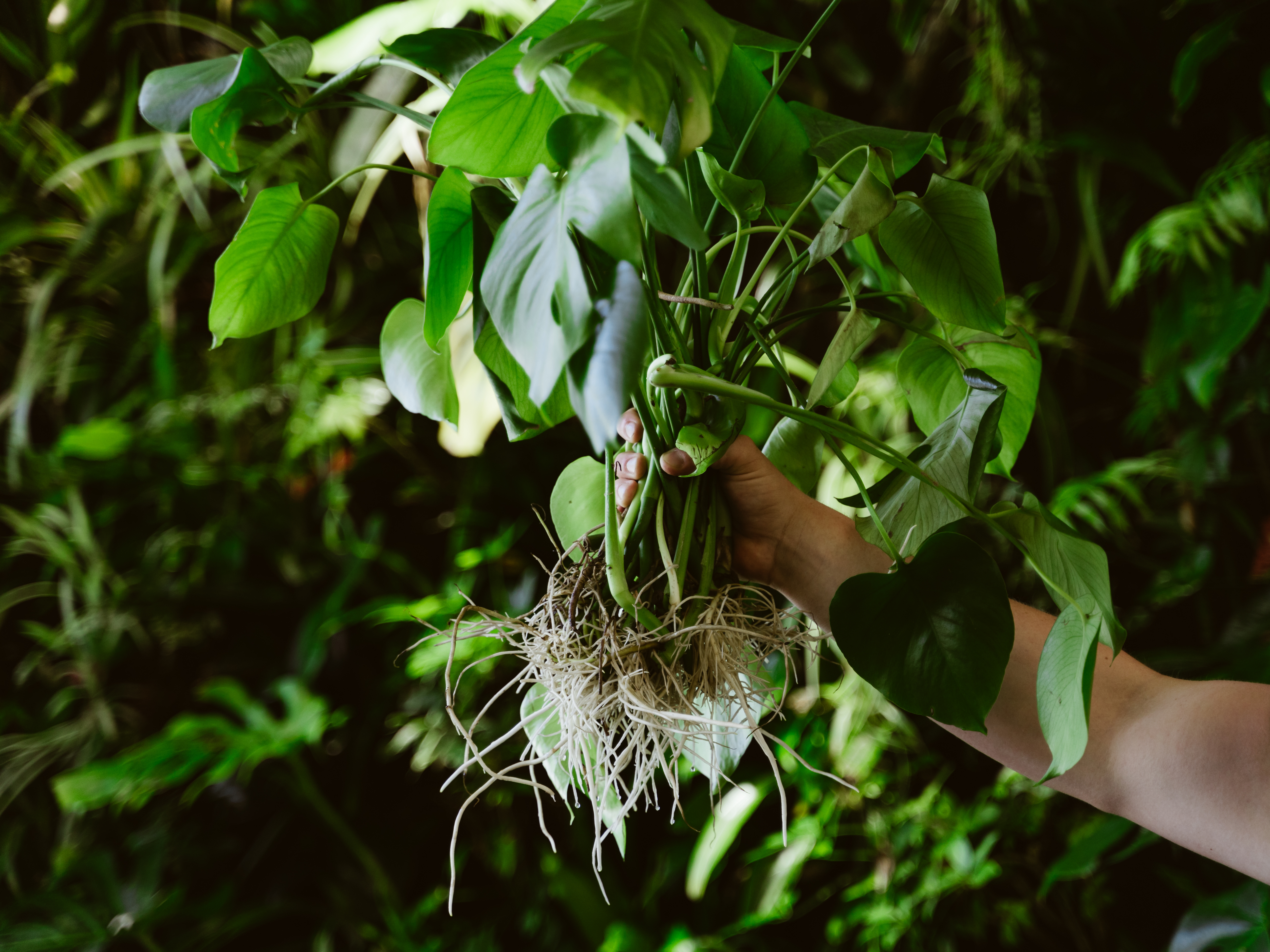 Plant with roots exposed to the air