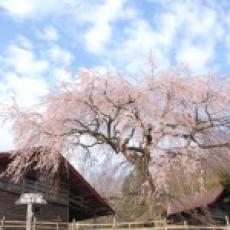 槍沢のしだれ桜